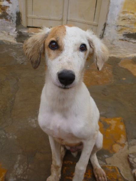 India Dog